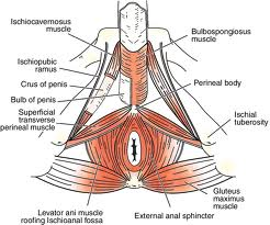 pelvic floor muscles | embodiment etudes